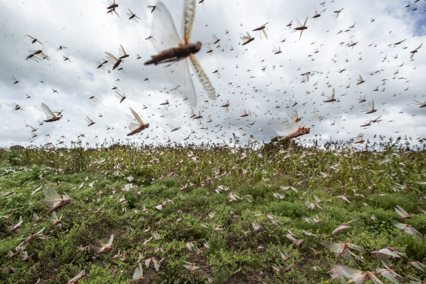 Swarms of desert locusts fly up into the air from crops in Katitika village, Kitui county, Kenya Friday.