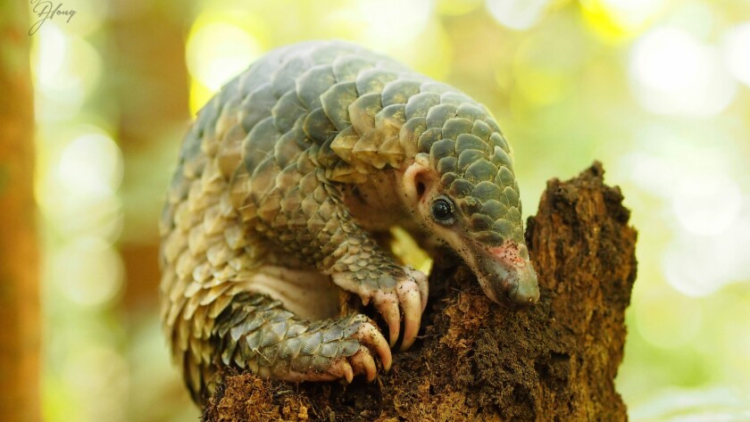 This Sunda pangolin was successfully released into the wild after undergoing rehabilitation in Brunei, Borneo.