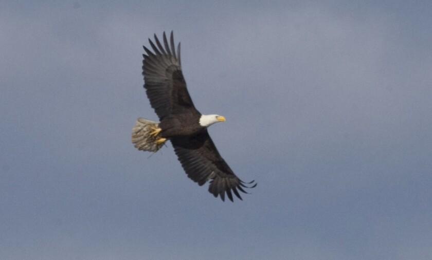 Lake Cuyamaca bald eagles