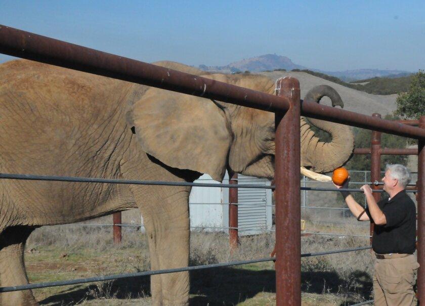 An elephant receives a pumpkin treat. Courtesy photos