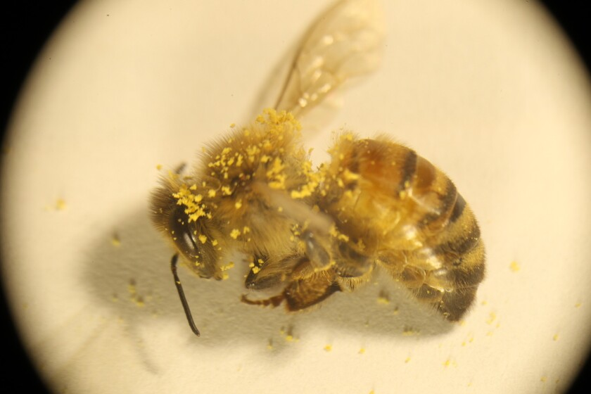 A bee coated in pollen