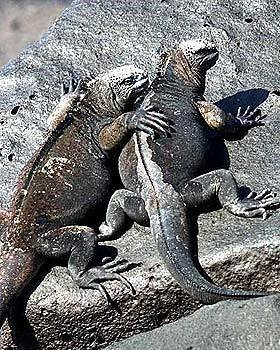 Marine iguanas sunbathe on San Cristóbal Island in the Galápagos.