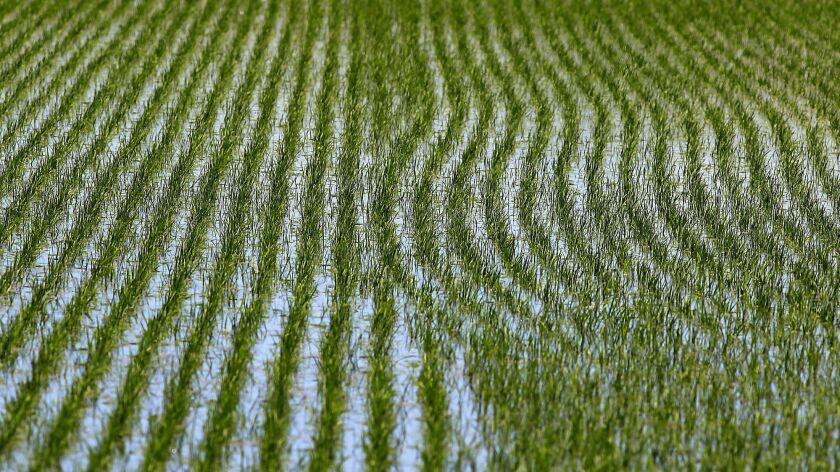 WILLIAMS, CA - MAY 23, 2013: Rice grows in a watery field on Don Bransford's farm May 23 2013 near t