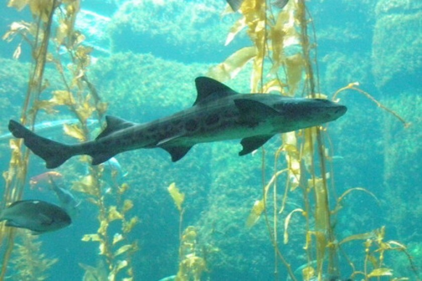 Snorkel with leopard sharks this summer in San Diego