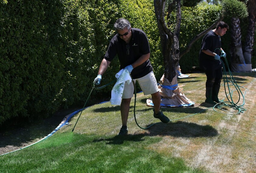 Green Canary President Shawn Sahbari sprays green water-based paint on a partially dead lawn at in San Jose. A new law signed by the governor Monday prohibits homeowners associations from fining residents for brown lawns during droughts.