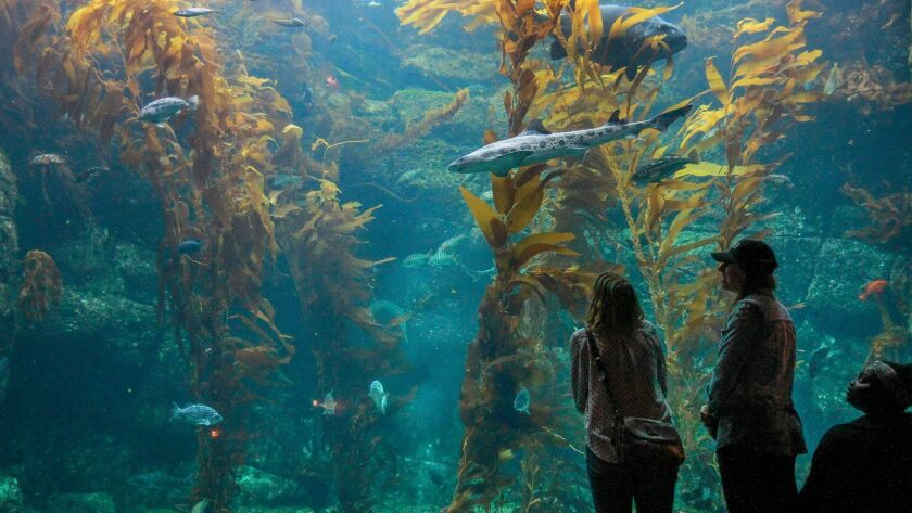 Visitors drop by the kelp forest, one of the most popular exhibits at the Birch Aquarium in La Jolla.