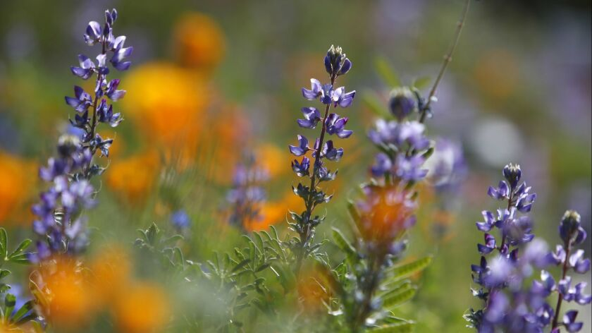 WOODLAND HILLS, CA-April 17, 2018: Lupine and California poppies bloom in the yard of homeowner Andr