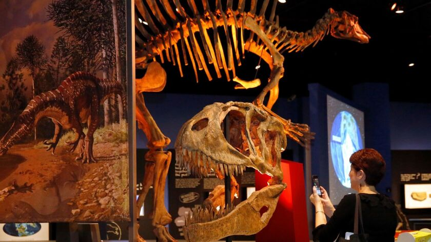 """KPBS reporter Beth Accomando takes a photo of the head of Carcharodontosaurus during a preview of the new """"Ultimate Dinosaurs"""" exhibit at the San Diego Natural History Museum."""