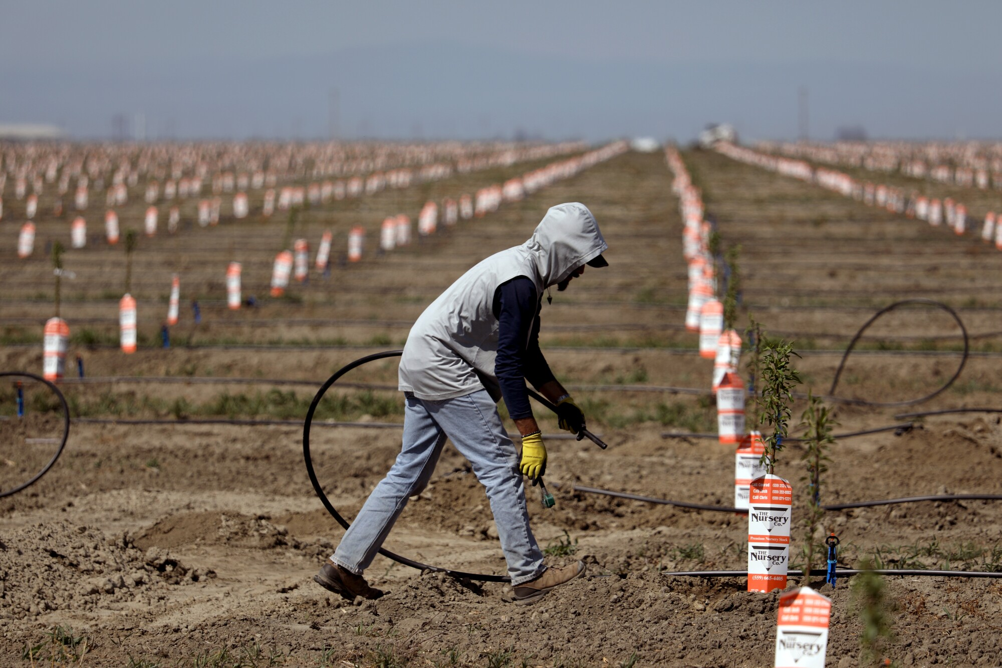 A worker sets up irrigation lines to water almond tree rootstocks.