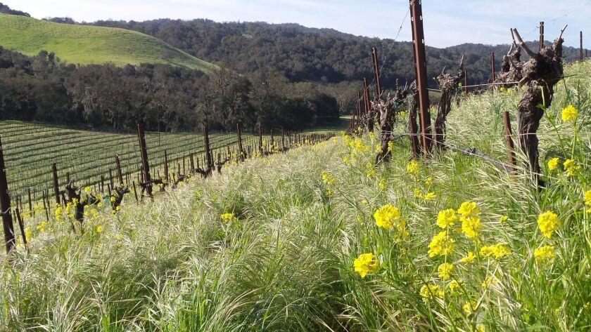 Cover crop between the vine rows, Tablas Creek, Paso Robles, Calif.