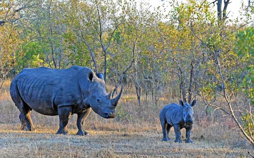 Rhinos in Kruger National Park in South Africa