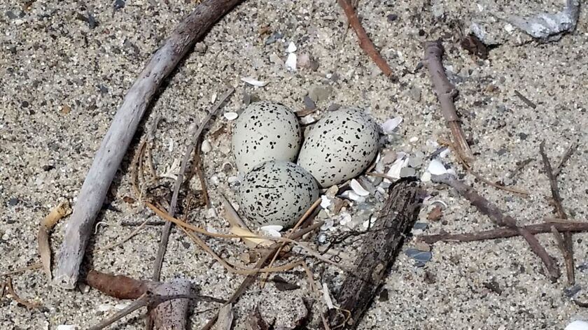 A western snowy plover nest and eggs on Santa Monica State Beach.