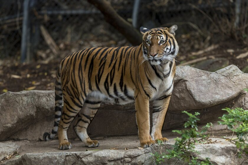 """Female Malayan tiger Tiga Tahun, was killed as a result of """"aggressive behavior"""" by her intended mate during a breeding session Saturday morning."""