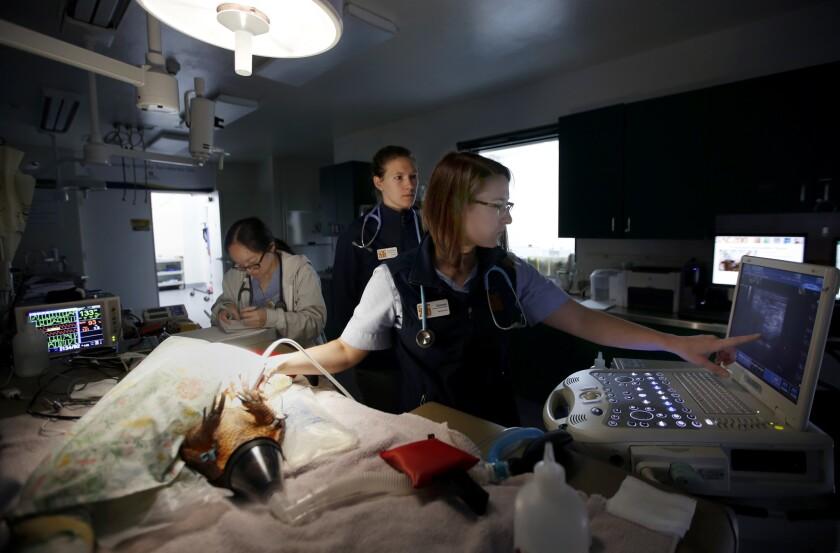 Dr. Jenessa Gjeltema, right, works with UC Davis students Weina Dai, left, and Audrey Buatois at the Sacramento Zoo to examine an armadillo named Ringo.