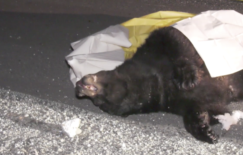 A bear was fatally struck by a car in Castaic.