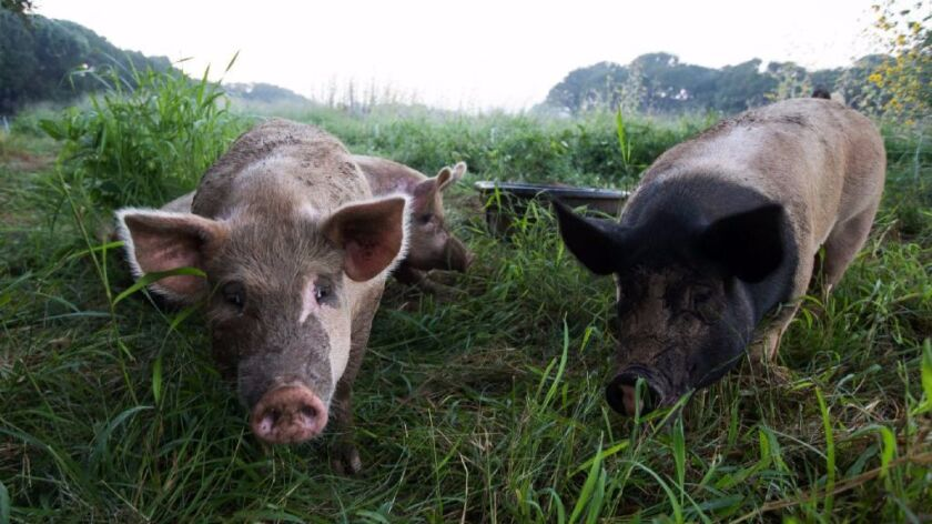 Pigs roam around Four String Farm in Rockport, Texas. A new study finds that pigs' moods and personalities affect whether they're optimistic or pessimistic.