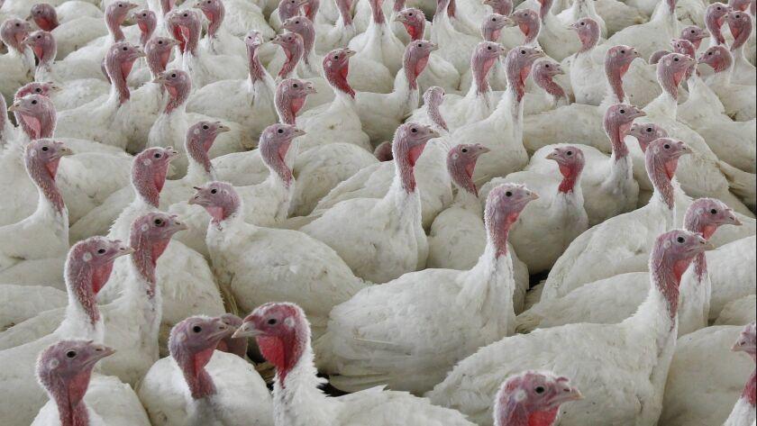 Turkeys at a farm in Lebanon, Pa. on April 11, 2012.