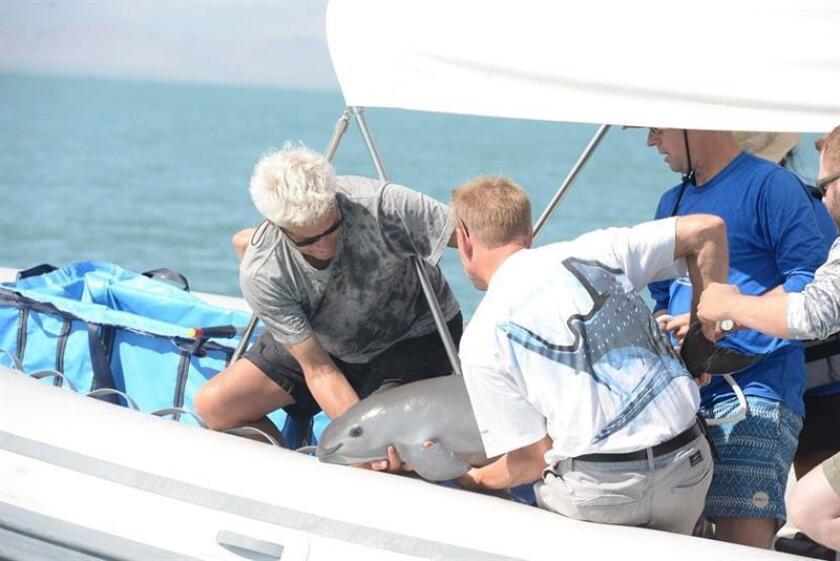 Muere una vaquita marina durante operación de rescate en Golfo de California