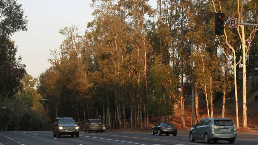 Eucalyptus trees along Twin Peaks Road in Poway on Tuesday.