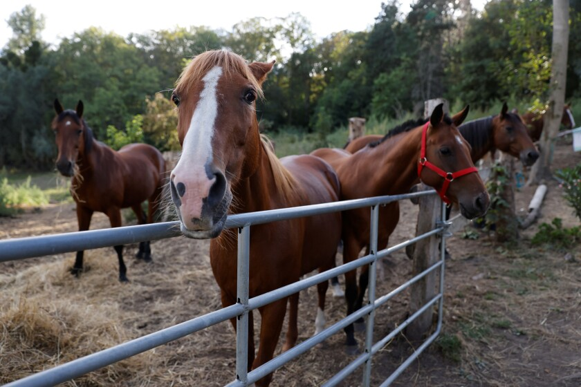 Horses stand in an enclosure at the location of a meeting between local authorities, elected officials and horse breeders whose animals have been victims of mutilation attacks in Plailly, northern France, Monday, Sept. 7, 2020. Police are stymied by the macabre attacks that include slashings and worse. Most often, an ear — usually the right one — has been cut off, recalling the matador's trophy in a bullring. Up to 30 attacks have been reported in France, from the mountainous Jura region in the east to the Atlantic coast, many this summer. (Photo by Thomas Samson, Pool via AP)