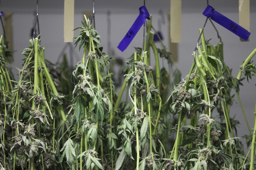 This file photo shows marijuana plants hang in the drying room at a marijuana growing facility in unincorporated El Cajon. The city will be updating its Social Host Ordinance to include cannabis and cannabis products.