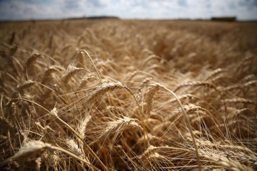 RUSIA AGRICULTURA:TMI15 MOSCÚ (RUSIA), 17/08/2017.- Vista de un campo de trigo durante la cosecha en el poblado de Pushkino, a las afueras de Moscú (Rusia) hoy, 17 de agosto del 2017. Rusia es el primer exportador de trigo del mundo. EFE/MAXIM SHIPENKOV