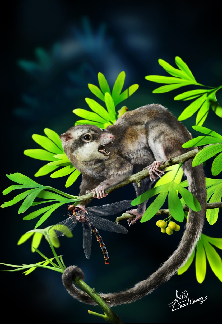A reconstruction of what may be one of the first mammals, Arboroharamiya jenkinsi, fossils of which were recently discovered in China.