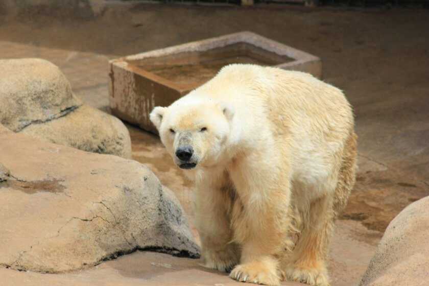 In this photo supplied by Joburg Parks and Zoo and taken Feb. 14, 2014, Wang, the zoo's only polar bear stands in his enclosure at the Johannesburg Zoo on St. Valentine's Day. The bear was put down Wednesday, Aug. 13, 2014 because it was suffering from liver and heart illnesses. (AP Photo-Joburg Parks and Zoo) NO ARCHIVING, NO LICENSING