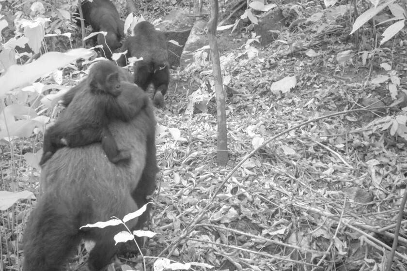 A Jan. 30 image taken by a camera trap shows a female Cross River gorilla carrying an infant in Nigeria's Mbe Mountains.