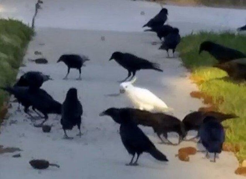 A cockatoo hangs out with a flock of crows in a Carlsbad neighborhood. Courtesy Craig Correll.