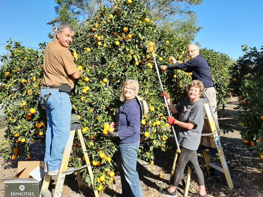 Lance Leininger, Sue Ann Leininger, Linda Bouchard and Alexander Hernandez, all members of the Backyard Produce Project's tree picking team, tackled a loaded orange tree earlier this month.