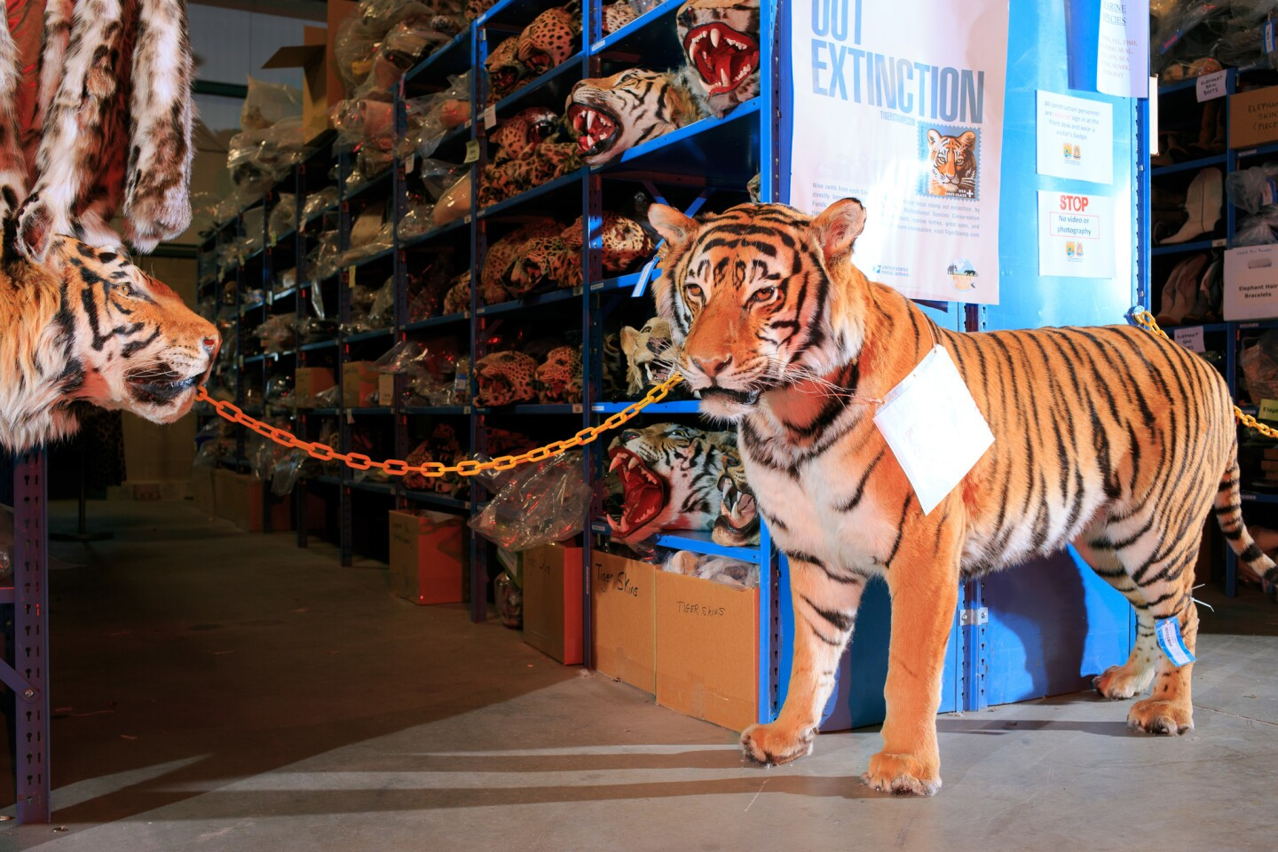 """Mounted Tigers stand at the end of an aisle full of various """"cats"""" inside the U.S. Fish and Wildlife Service National Wildlife Property Repository."""