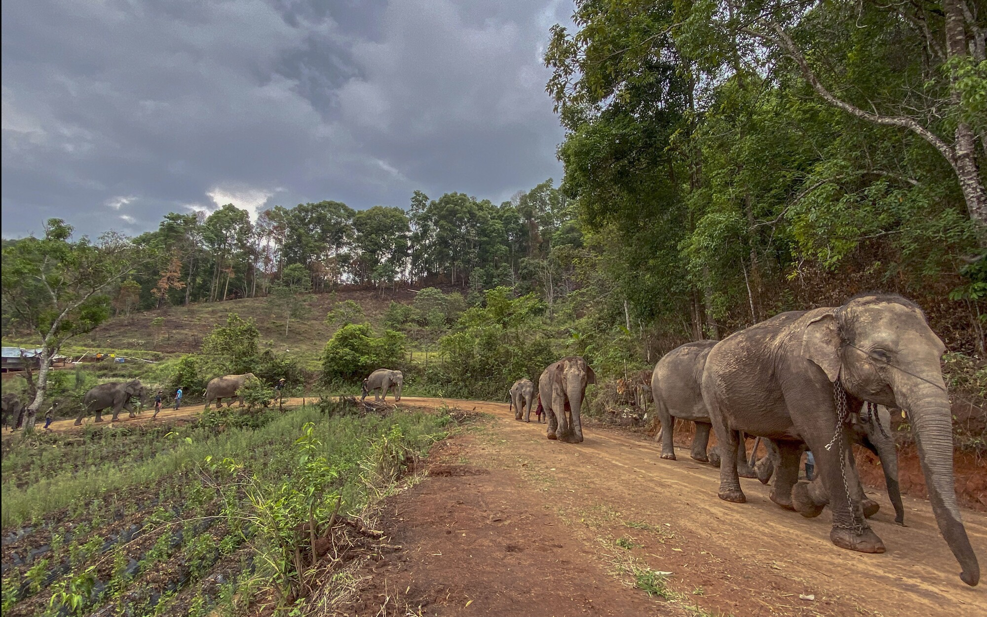A herd of elephants walks along a dirt road last week during a nearly 100-mile journey from Mae Wang to Ban Huay in northern Thailand.