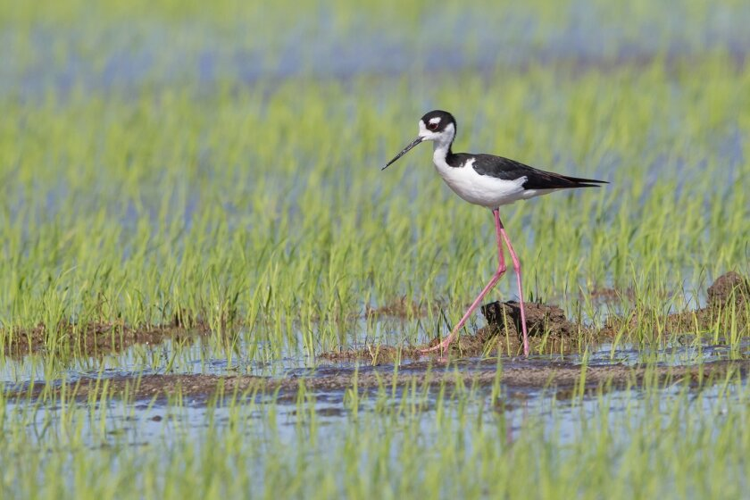California rice fields provide habitat for many species of water birds.