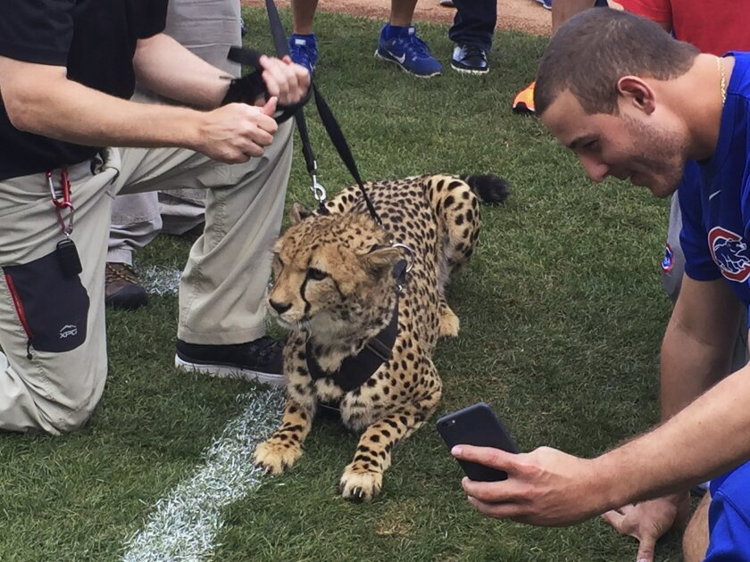 In a photo provided by Jeff Arnold, Chicago Cubs first baseman Anthony Rizzo snaps a photo with Bibi the cheetah, who visited Wrigley Field on Wednesday, Sept. 23, 2015, in Chicago from the Columbus Zoo. (Jeff Arnold via AP)
