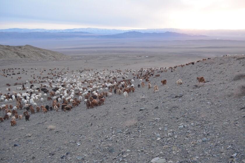 Livestock in Mongolia