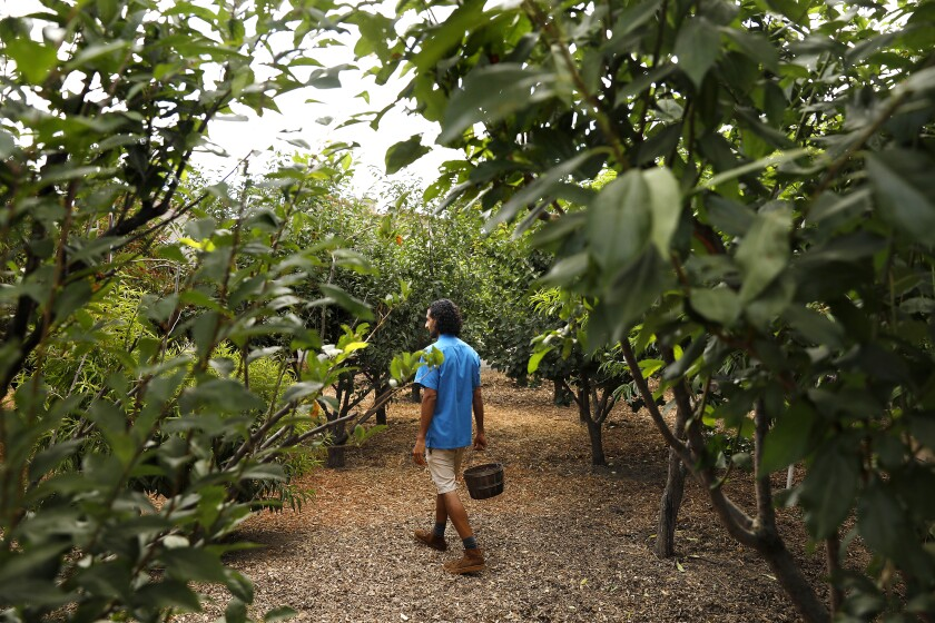 Rishi Kumar walks through a variety of trees including plums, peaches, apricots and nectarines.