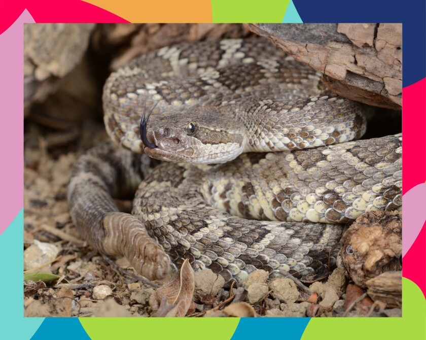 A Southern Pacific rattlesnake
