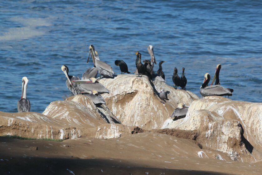 This photo taken Jan. 3 captures the cormorants, pelicans and Western gulls at the scene of the crime. Dave Schwab