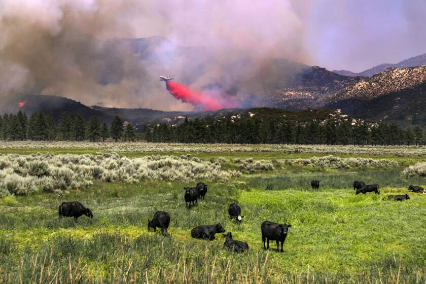 Cows graze as a DC-10 air tanker drops fire retardant on the Cranston fire burning along Highway 74 near Hemet Lake.