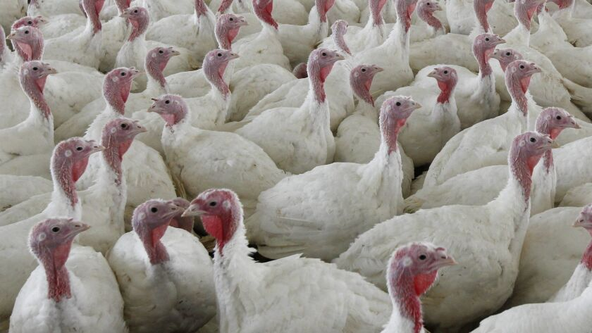 FILE - This Wednesday, April 11, 2012 file photo shows turkeys at a farm in Lebanon, Pa. To kill the