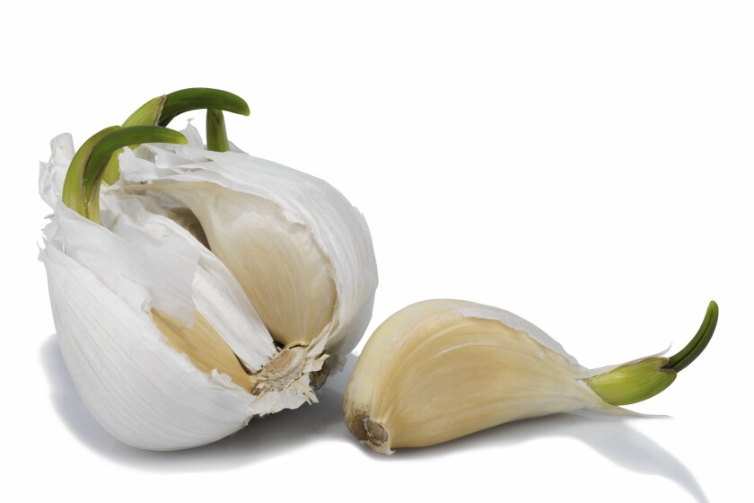 Sprouted garlic should be separated into cloves and planted with the fat end down.