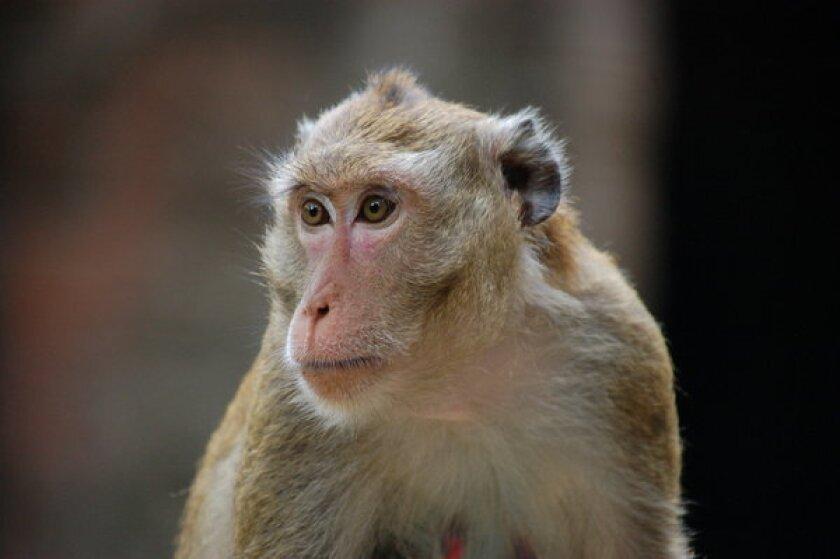 Alarm among activists after Malaysia kills nearly 100,000 monkeys