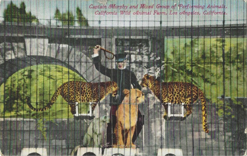 """The postcard shows a man with a whip and three big cats. It reads: """"Captain Murphy and Mixed Group of Performing Animals."""""""