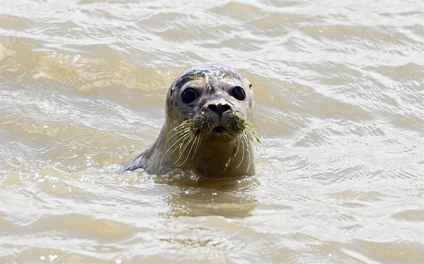 Activistas de California celebraron hoy un fallo judicial que respalda el cierre temporal de una playa en La Jolla, en el norte de San Diego, y permitir así que decenas de focas puedan criar a sus cachorros. EFE/ARCHIVO GERMANY ANIMALS (1).jpg:epa04863797 A seal pup after being released into the wild on the beach of Juist island, Germany, 28 July 2015. This was the first tour of Norddeich seal breeding station to re-introduce animals to nature. EPA/CARMEN JASPERSEN
