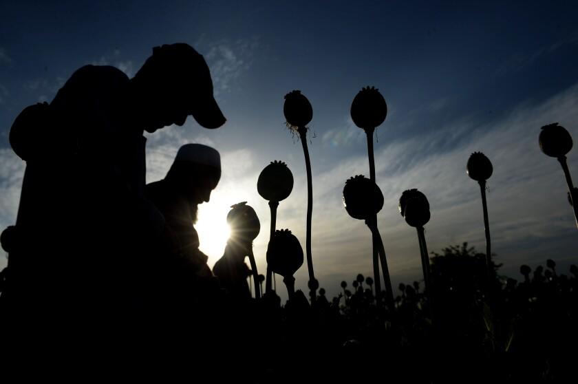 Afghan farmers seen in silhouette harvesting opium gum