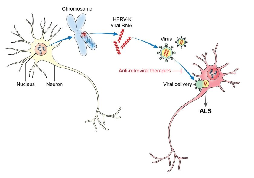 HERV-K harms motor neurons when activated.