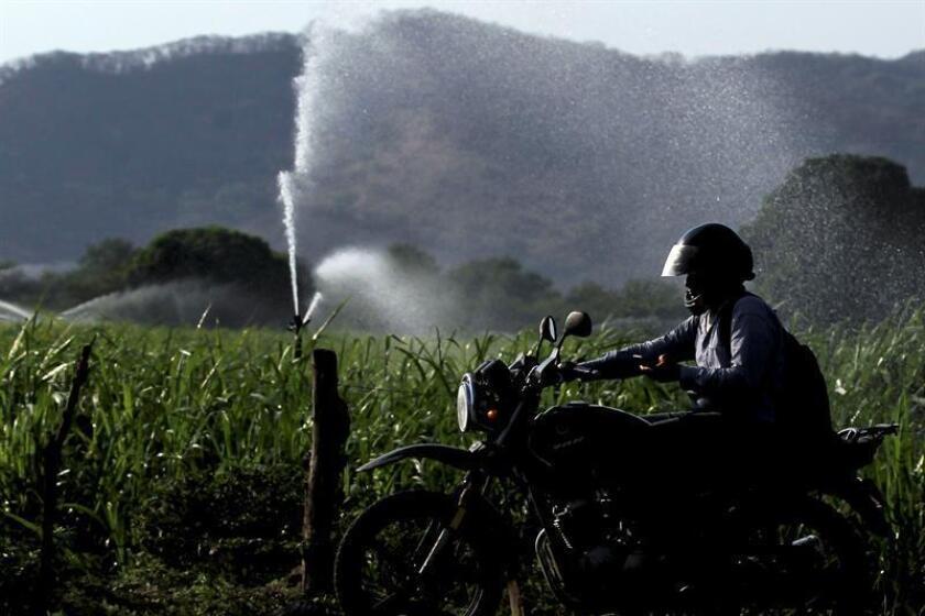 El Salvador vive una de las sequías más fuertes de su historia reciente y que ha causado la pérdida de 2,13 millones de quintales de maíz, uno de los principales granos de la dieta salvadoreña. EFE/Archivo