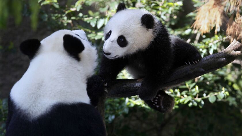 Xiao Liwu, seven months old, in March 2013 with mother Bai Yun.