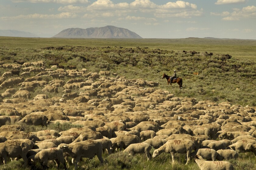 A sheepherder works on Bureau of Land Management land in eastern Idaho. A new Trump plan would shift most top agency jobs west from Washington, a move that could significantly weaken its influence on federal policies.